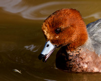 Eurasian Widgeon
