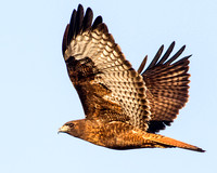 Rufous-phase red-tailed Hawk