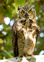 Wide-eyed Owlet