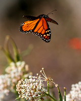 Fly away - Monarch Butterfly