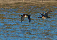 Flying Wood duck couple