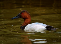Canvasback -Male