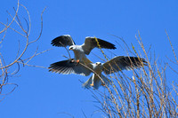 White Tailed Kite - male and female