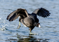 Coot water run....