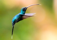 Female Green Hermit hummingbird