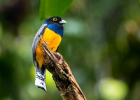 Trogon in the rain...