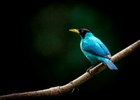 Male Green Honeycreeper