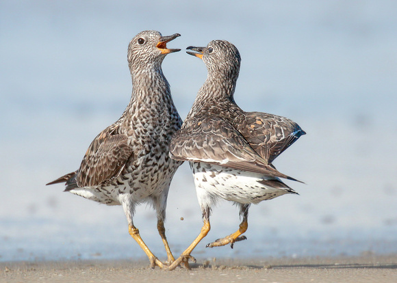 Surfbird squabble