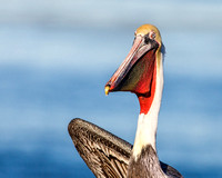 Distinguished Pelican.....