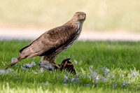 Coopers Hawk with Varied Thrush prey