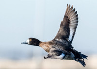 Scaup in flight...